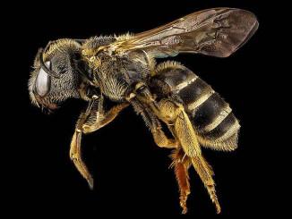 Nützliche Bienen Wildbienen schützen