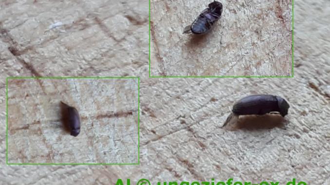Kleine Käfer Ansicht So sieht ein Brotkäfer aus