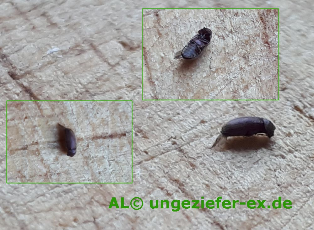 Schwarze Käfer Ansicht So sieht ein Brotkäfer aus