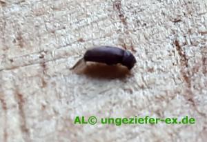 Kleiner brauner Käfer im Haus bekämpfen