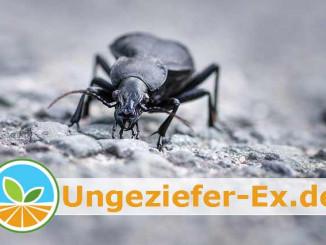 Bild: Schwarze Käfer im Haus - Diese Arten kommen vor