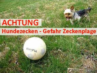 Braune Hundezecken Zeckenplage für Hunde