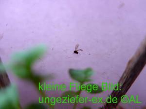 kleine Trauerfliegen, Mücken an Pflanzen Bild foto