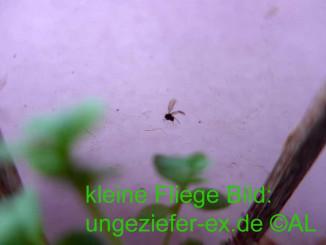 Trauermücken Trauerfliegen Plage im Haus