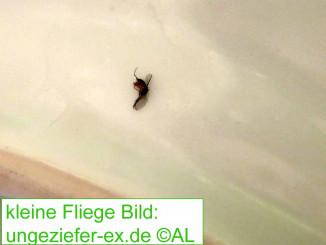 kleine Fliegen im Haus Bild